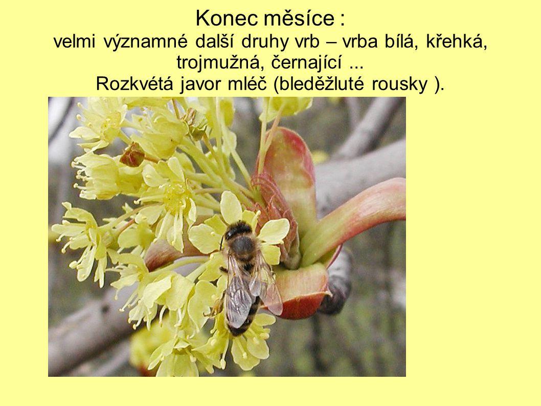 V teplejších oblastech rozkvétají meruňky( žlutý pyl ) a broskvoně( světle červený pyl )