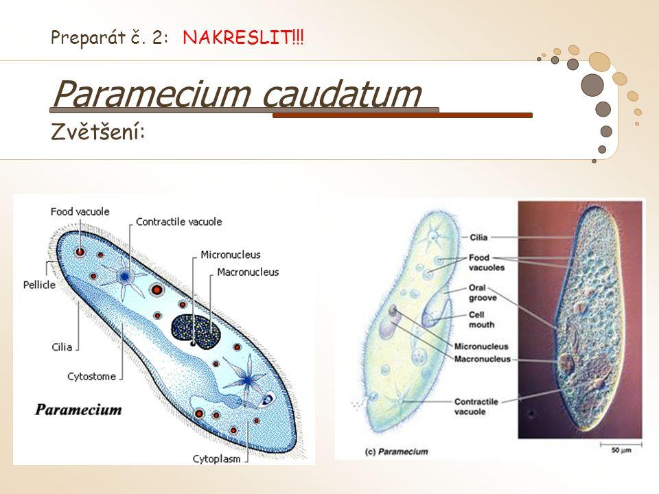 Preparát č. 2: NAKRESLIT!!! Paramecium caudatum Zvětšení: