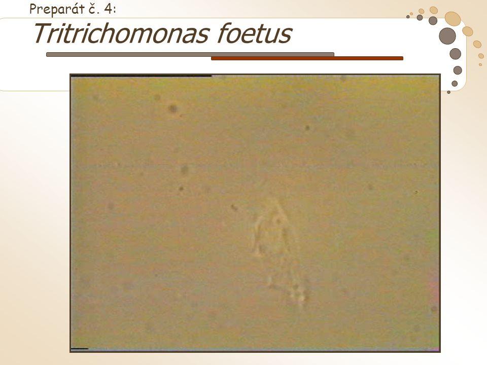 Preparát č. 4: Tritrichomonas foetus