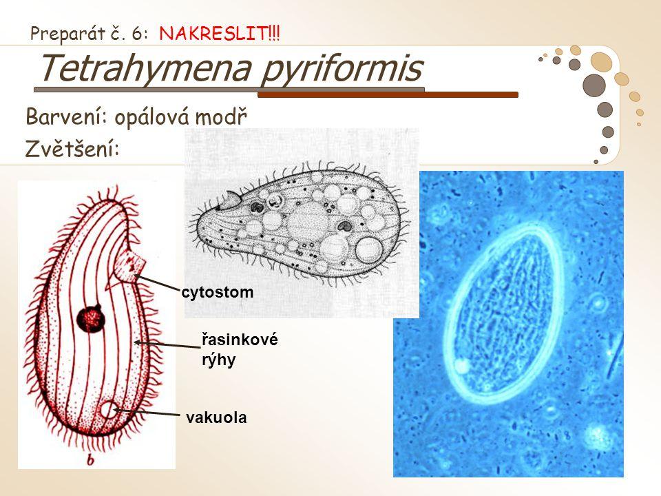 Barvení: opálová modř Zvětšení: Preparát č. 6: NAKRESLIT!!! Tetrahymena pyriformis cytostom řasinkové rýhy vakuola
