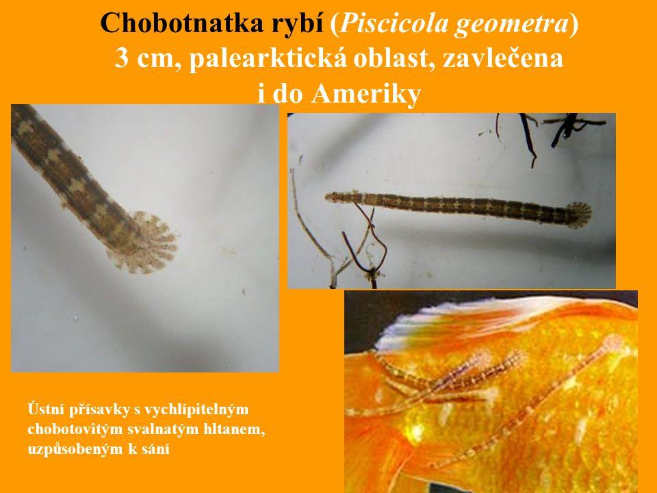 Chobotnatka rybí (Piscicola geometra) 3 cm, palearktická oblast, zavlečena i do Ameriky Ústní přísavky s vychlípitelným chobotovitým svalnatým hltanem