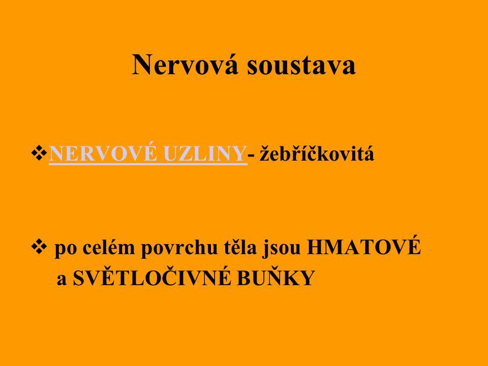 Nervová soustava  NERVOVÉ UZLINY- žebříčkovitá NERVOVÉ UZLINY  po celém povrchu těla jsou HMATOVÉ a SVĚTLOČIVNÉ BUŇKY
