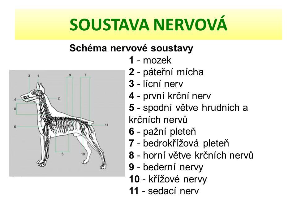 SOUSTAVA NERVOVÁ Schéma nervové soustavy 1 - mozek 2 - páteřní mícha 3 - lícní nerv 4 - první krční nerv 5 - spodní větve hrudnich a krčních nervů 6 -