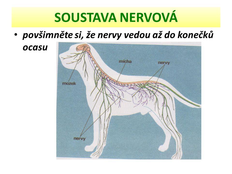 SOUSTAVA NERVOVÁ mozek + mícha + nervy rozvoj koncového mozku a kůry- obsahuje všechny vyšší reflexní centra včetně zrakového