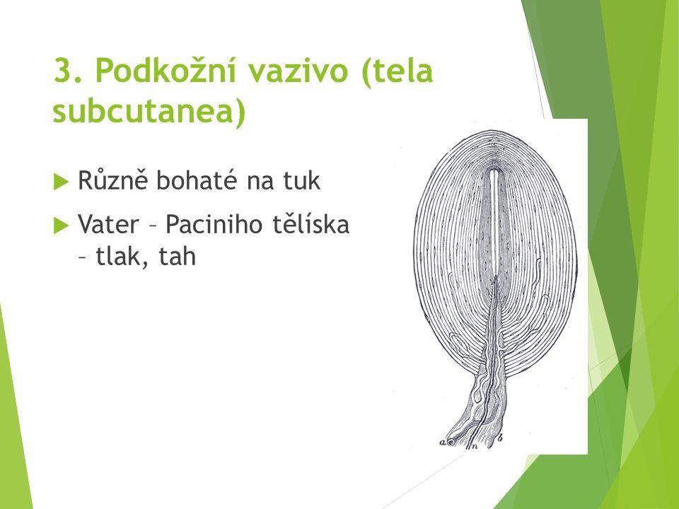 3. Podkožní vazivo (tela subcutanea)  Různě bohaté na tuk  Vater – Paciniho tělíska – tlak, tah