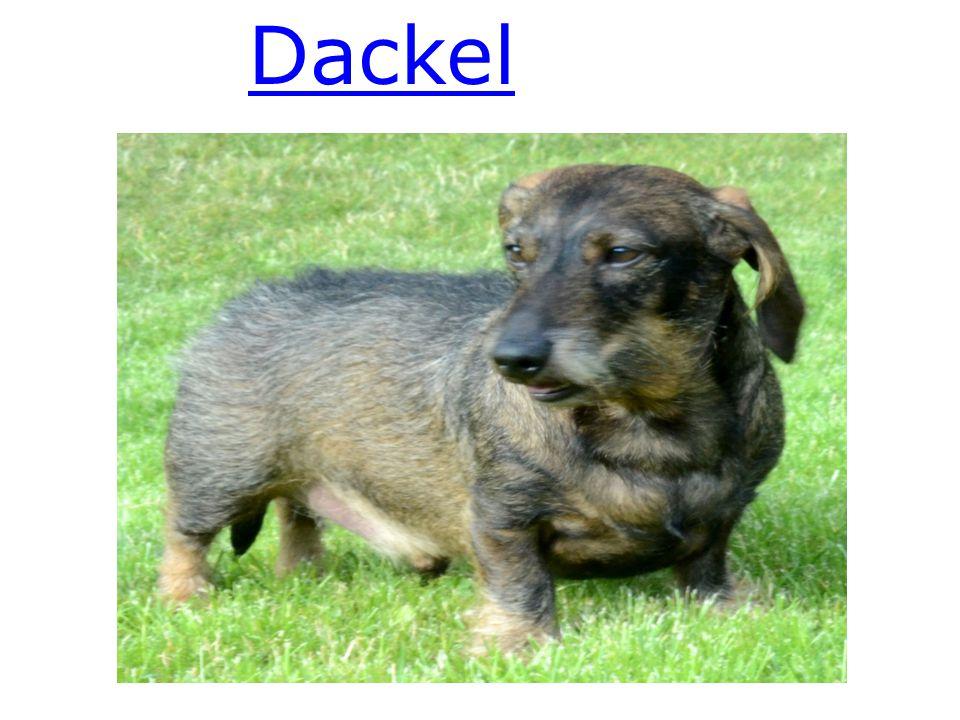 Dackel