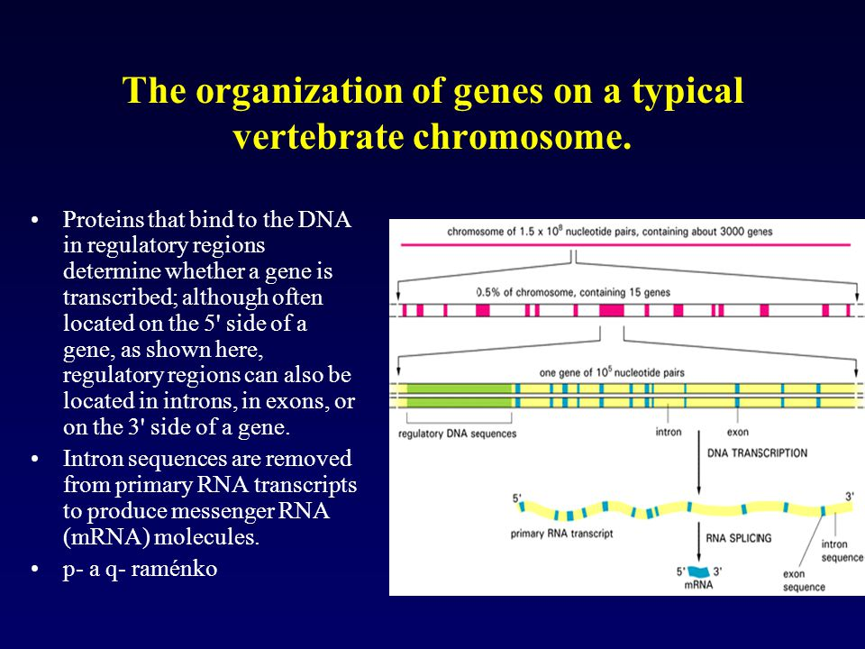 The organization of genes on a typical vertebrate chromosome. Proteins that bind to the DNA in regulatory regions determine whether a gene is transcri