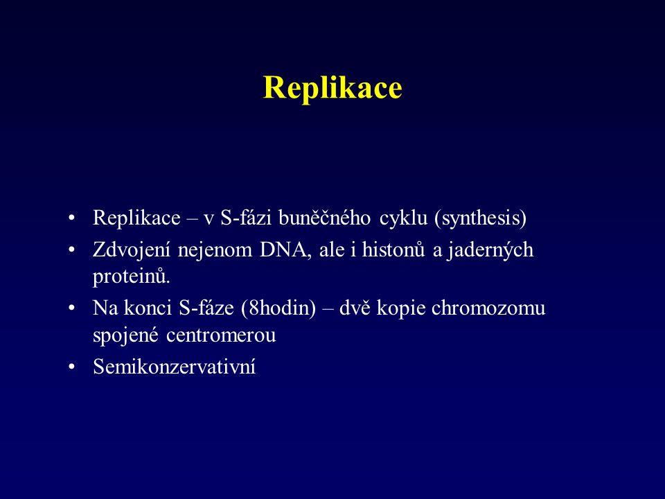 Replikace Replikace – v S-fázi buněčného cyklu (synthesis) Zdvojení nejenom DNA, ale i histonů a jaderných proteinů. Na konci S-fáze (8hodin) – dvě ko