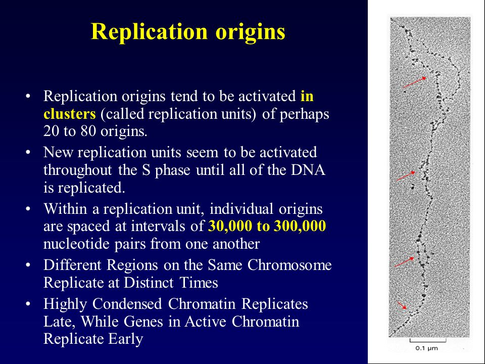 Replication origins Replication origins tend to be activated in clusters (called replication units) of perhaps 20 to 80 origins. New replication units