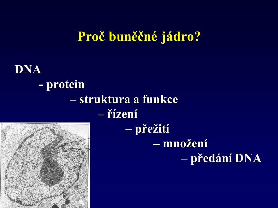 Proč buněčné jádro? DNA - protein - protein – struktura a funkce – řízení – přežití – množení – předání DNA