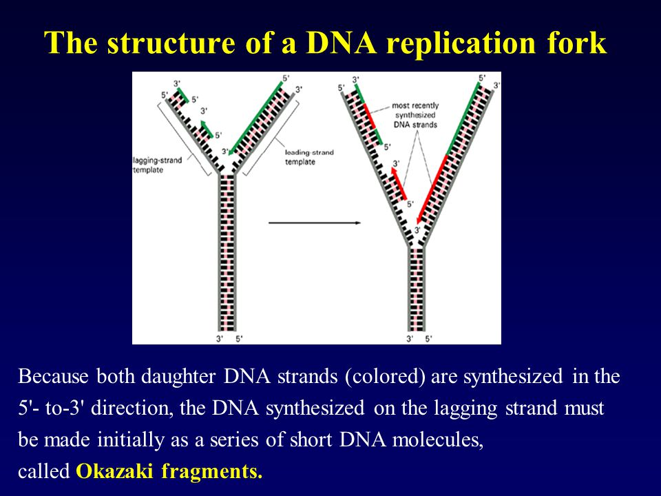 The structure of a DNA replication fork Because both daughter DNA strands (colored) are synthesized in the 5'- to-3' direction, the DNA synthesized on