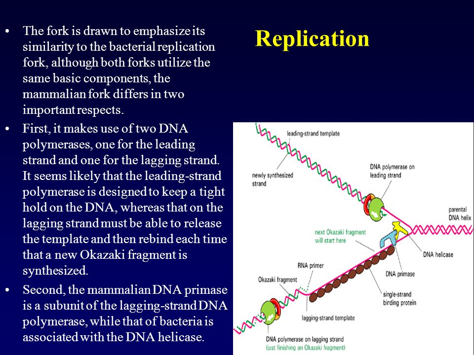 Replication The fork is drawn to emphasize its similarity to the bacterial replication fork, although both forks utilize the same basic components, th