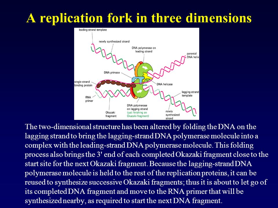 A replication fork in three dimensions The two-dimensional structure has been altered by folding the DNA on the lagging strand to bring the lagging-st