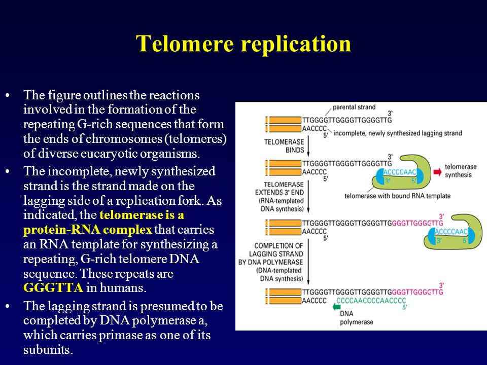 Telomere replication The figure outlines the reactions involved in the formation of the repeating G-rich sequences that form the ends of chromosomes (