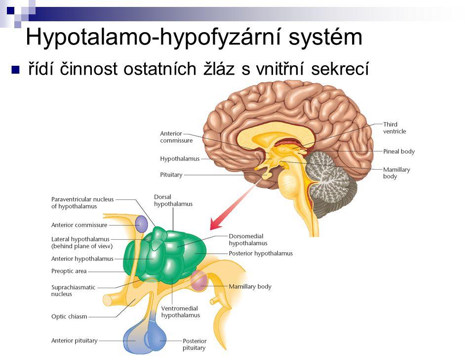 HYPOTALAMUS liberiny (spouštěcí hormony) statiny (tlumící hormony) - řídí činnost hypofýzy ADH (antidiuretický hormon) – hospodaření s vodou oxytocin – stahy svalstva dělohy při porodu HYPOFÝZA STH (růstový hormon) hormony řídící činnost jiných žláz