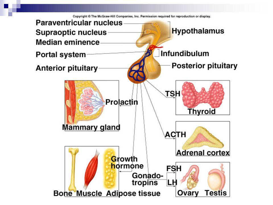 """Šišinka tělísko u stropu komory mezimozku melatonin – brzdí pohlavní činnost, """"vnitřní hodiny – produkce závislá na délce světelného dne"""