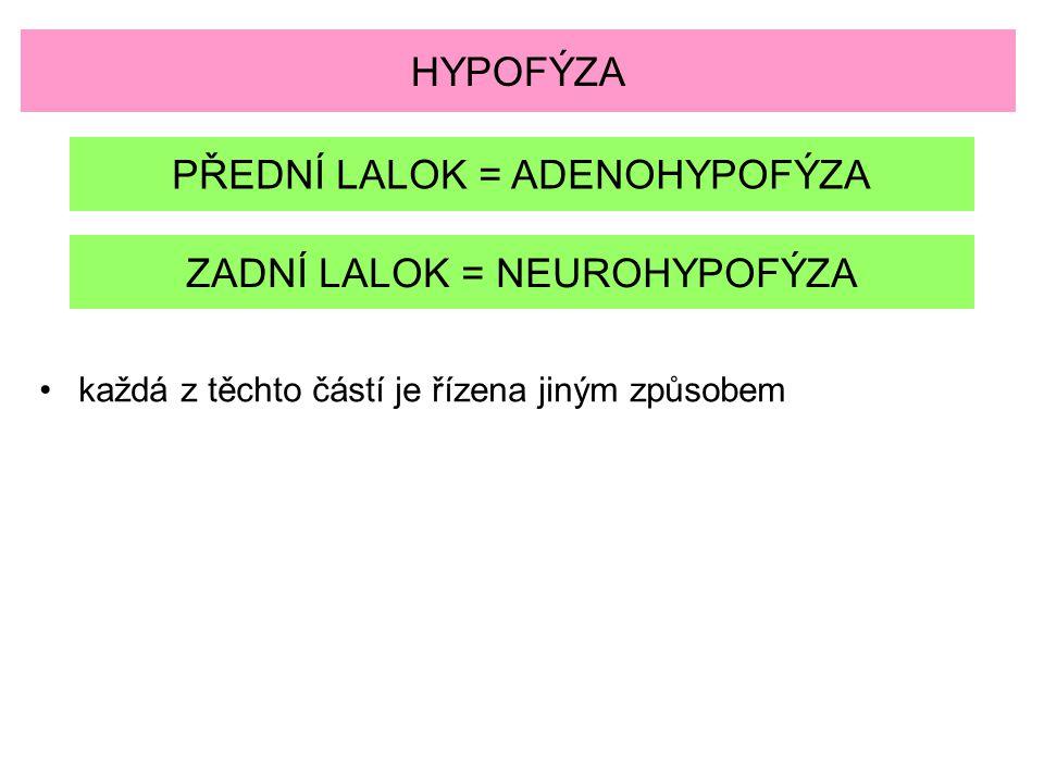 HYPOFÝZA PŘEDNÍ LALOK = ADENOHYPOFÝZA ZADNÍ LALOK = NEUROHYPOFÝZA každá z těchto částí je řízena jiným způsobem