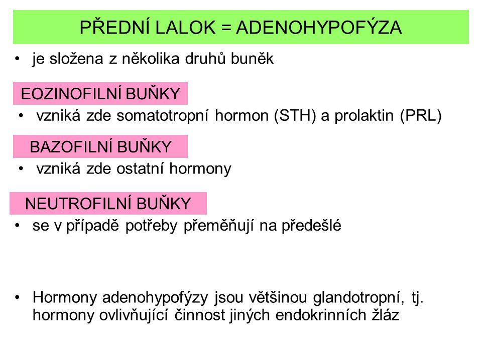 PŘEDNÍ LALOK = ADENOHYPOFÝZA je složena z několika druhů buněk EOZINOFILNÍ BUŇKY vzniká zde somatotropní hormon (STH) a prolaktin (PRL) BAZOFILNÍ BUŇK