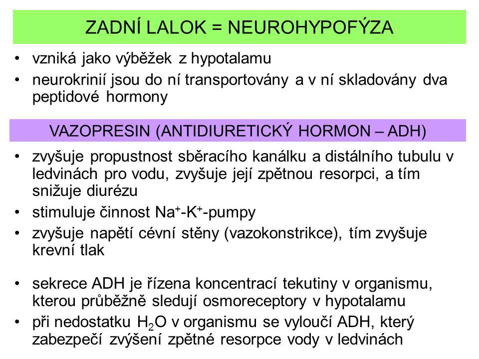 ZADNÍ LALOK = NEUROHYPOFÝZA vzniká jako výběžek z hypotalamu neurokrinií jsou do ní transportovány a v ní skladovány dva peptidové hormony zvyšuje pro