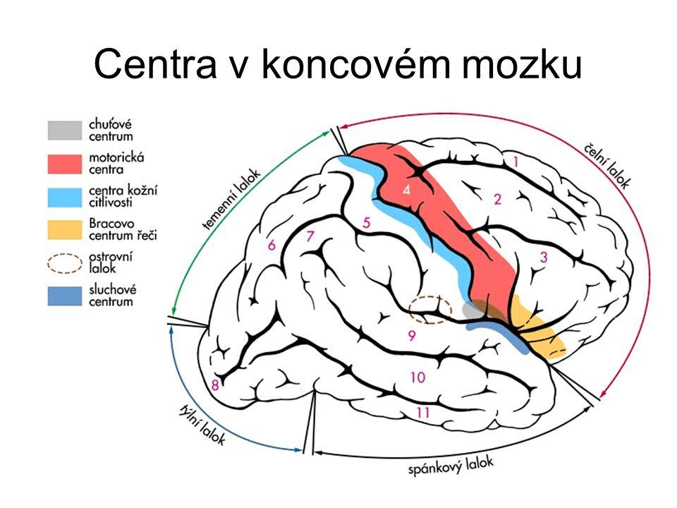Centra v koncovém mozku