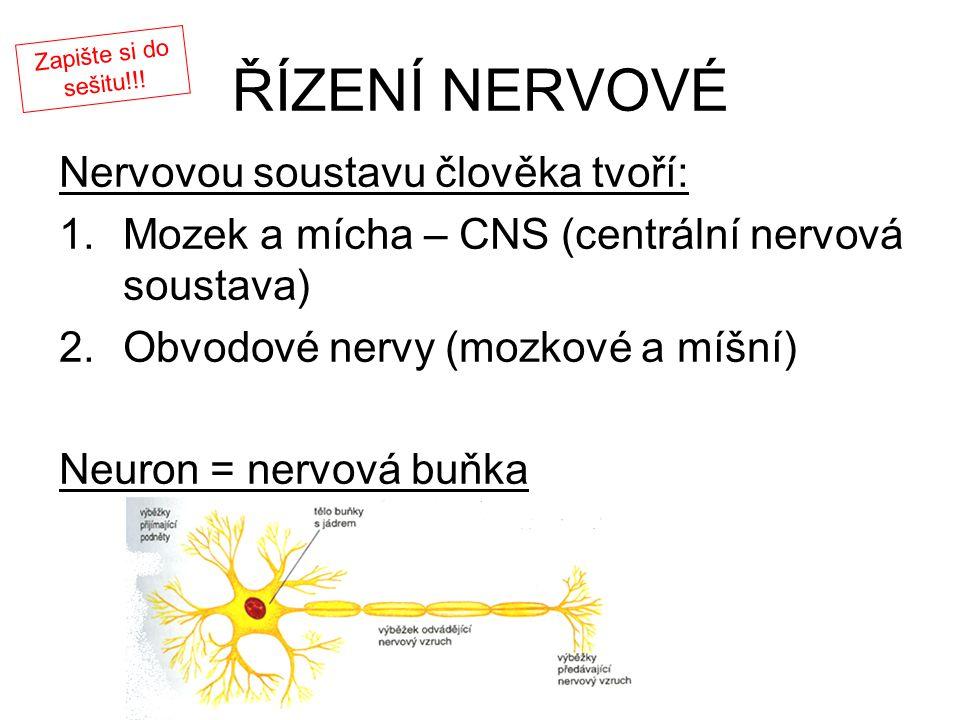 ŘÍZENÍ NERVOVÉ Nervovou soustavu člověka tvoří: 1.Mozek a mícha – CNS (centrální nervová soustava) 2.Obvodové nervy (mozkové a míšní) Neuron = nervová