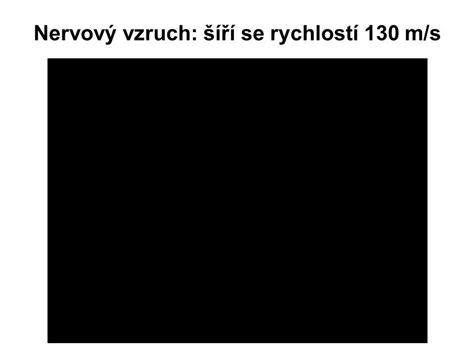 Nervový vzruch: šíří se rychlostí 130 m/s