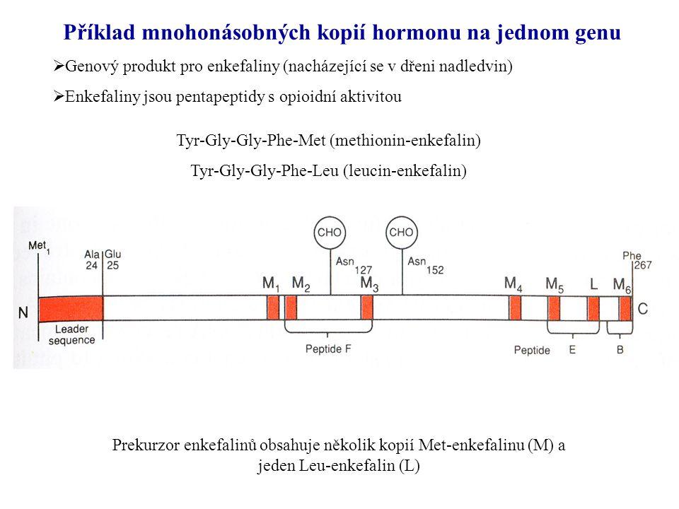 Příklad mnohonásobných kopií hormonu na jednom genu  Genový produkt pro enkefaliny (nacházející se v dřeni nadledvin)  Enkefaliny jsou pentapeptidy