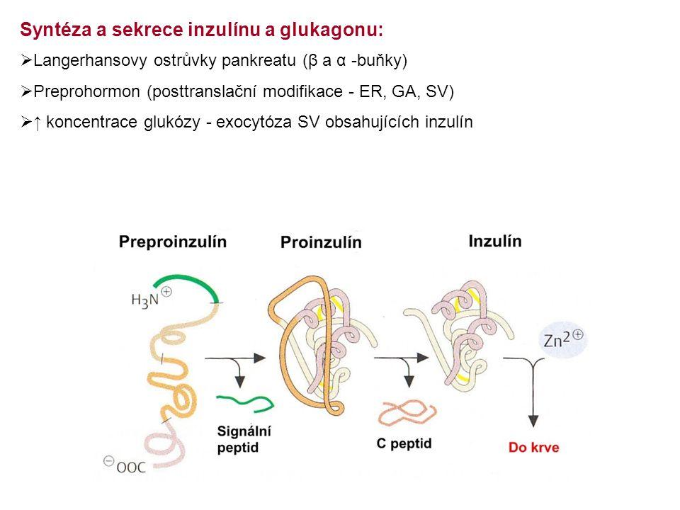  Langerhansovy ostrůvky pankreatu (β a α -buňky)  Preprohormon (posttranslační modifikace - ER, GA, SV)  ↑ koncentrace glukózy - exocytóza SV obsah