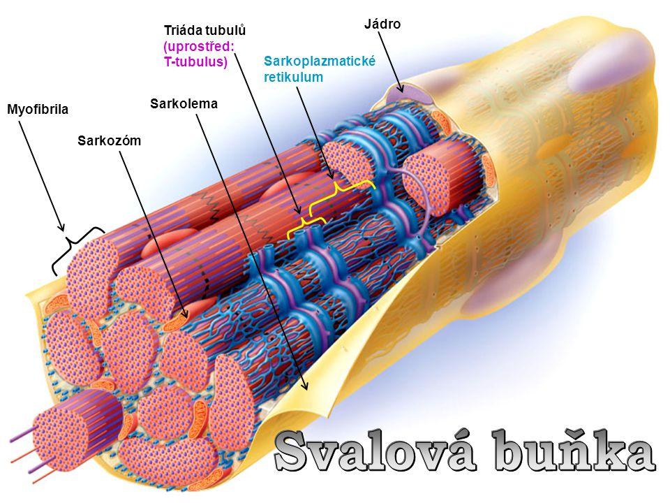 Sarkozóm Sarkolema Triáda tubulů (uprostřed: T-tubulus) Sarkoplazmatické retikulum Jádro Myofibrila