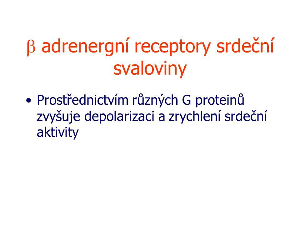  adrenergní receptory srdeční svaloviny Prostřednictvím různých G proteinů zvyšuje depolarizaci a zrychlení srdeční aktivity