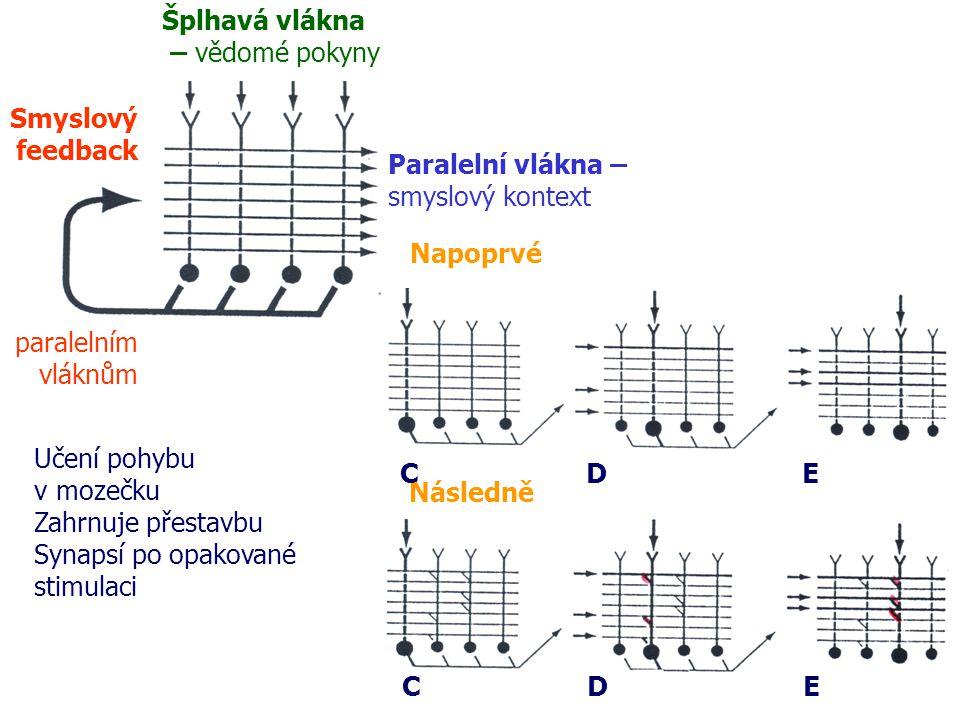 Šplhavá vlákna – vědomé pokyny Paralelní vlákna – smyslový kontext Smyslový feedback paralelním vláknům Napoprvé Následně CDE CDE Učení pohybu v mozečku Zahrnuje přestavbu Synapsí po opakované stimulaci