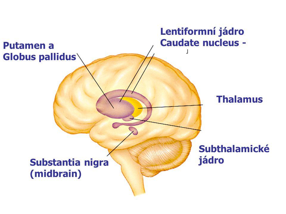 Putamen a Globus pallidus Substantia nigra (midbrain) Lentiformní jádro Caudate nucleus - Thalamus Subthalamické jádro