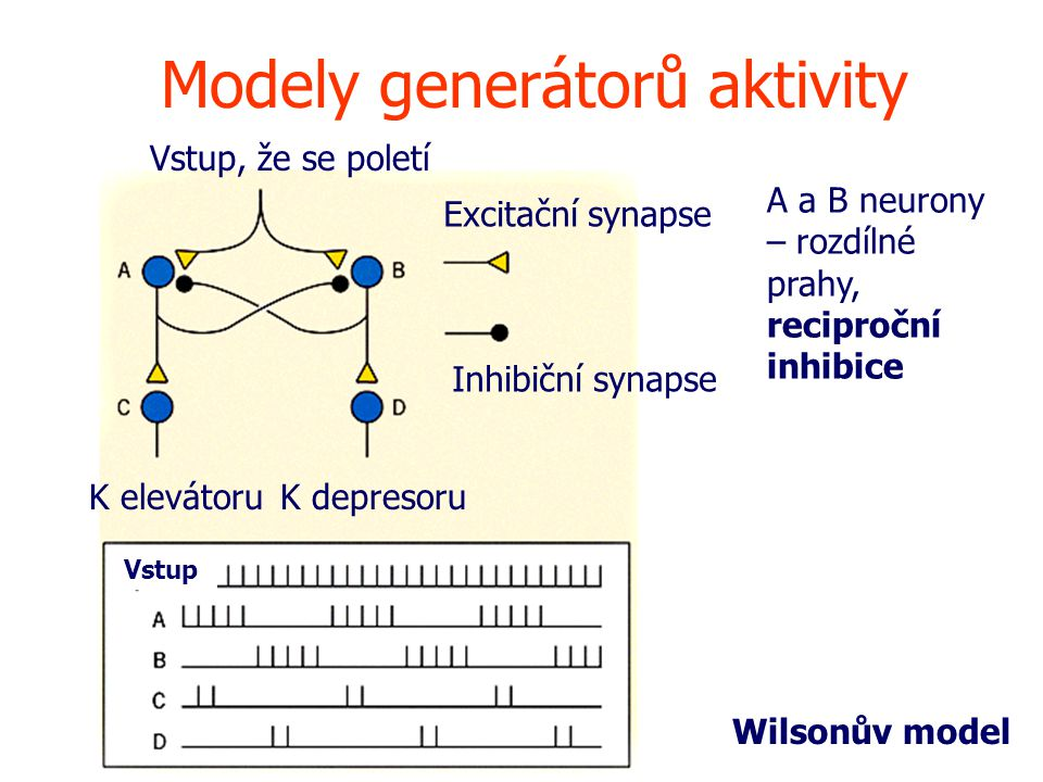 Vstup Modely generátorů aktivity Vstup, že se poletí Excitační synapse Inhibiční synapse K elevátoruK depresoru Wilsonův model A a B neurony – rozdílné prahy, reciproční inhibice