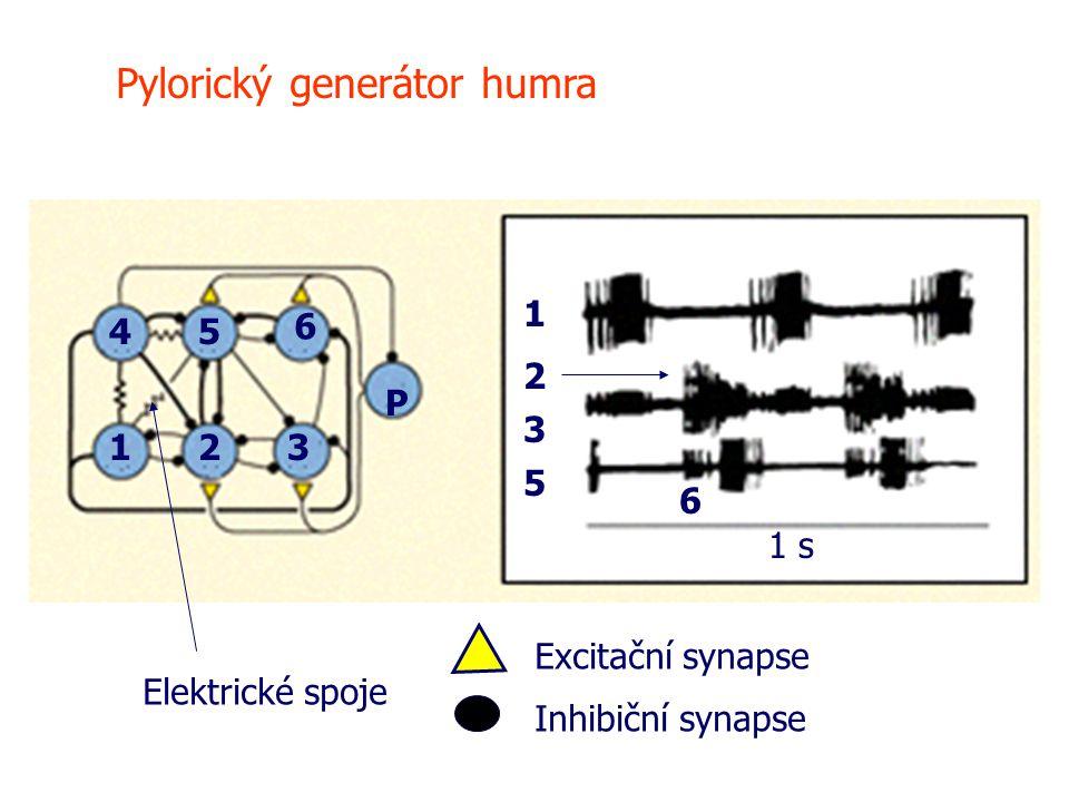 Pylorický generátor humra 1 1 2 2 3 3 45 5 6 6 1 s Elektrické spoje Excitační synapse Inhibiční synapse P