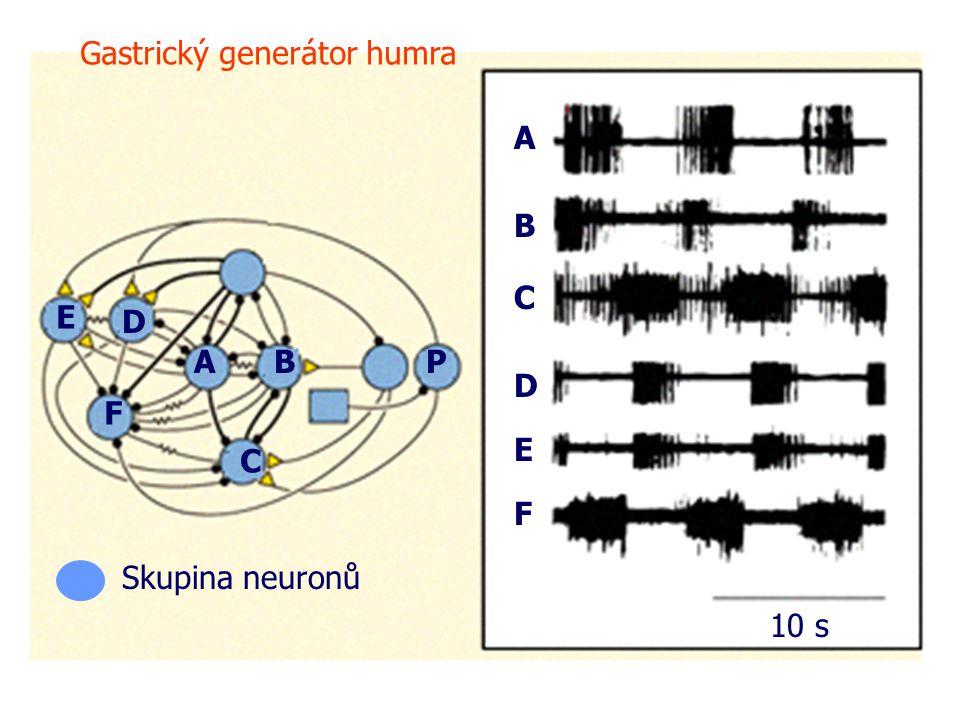 A A B B C C D D E E F F P 10 s Gastrický generátor humra Skupina neuronů
