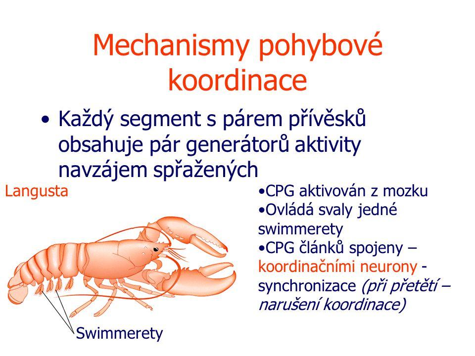 Mechanismy pohybové koordinace Každý segment s párem přívěsků obsahuje pár generátorů aktivity navzájem spřažených Swimmerety LangustaCPG aktivován z mozku Ovládá svaly jedné swimmerety CPG článků spojeny – koordinačními neurony - synchronizace (při přetětí – narušení koordinace)