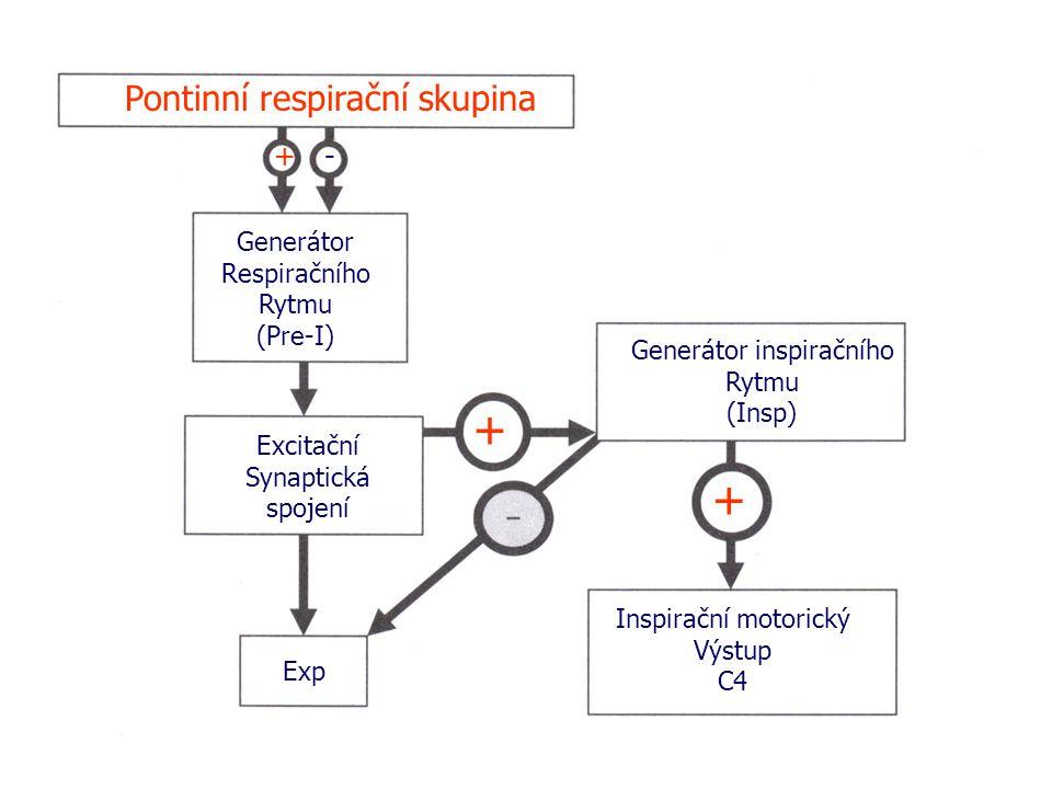 Pontinní respirační skupina + - + + Generátor Respiračního Rytmu (Pre-I) Excitační Synaptická spojení Exp Generátor inspiračního Rytmu (Insp) Inspirační motorický Výstup C4