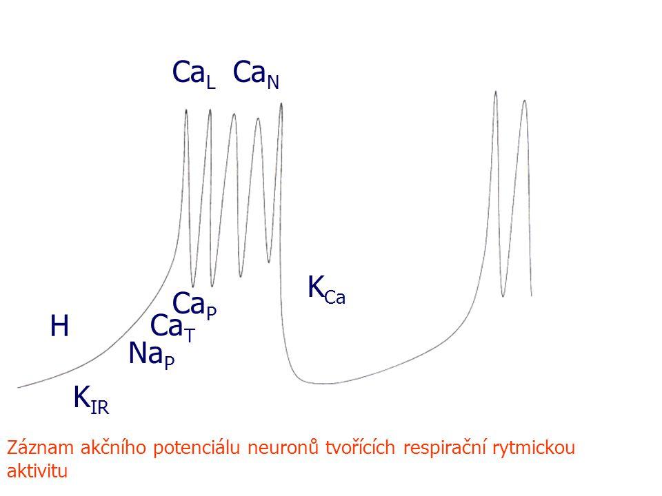 H K IR Na P Ca P Ca T Ca L Ca N K Ca Záznam akčního potenciálu neuronů tvořících respirační rytmickou aktivitu