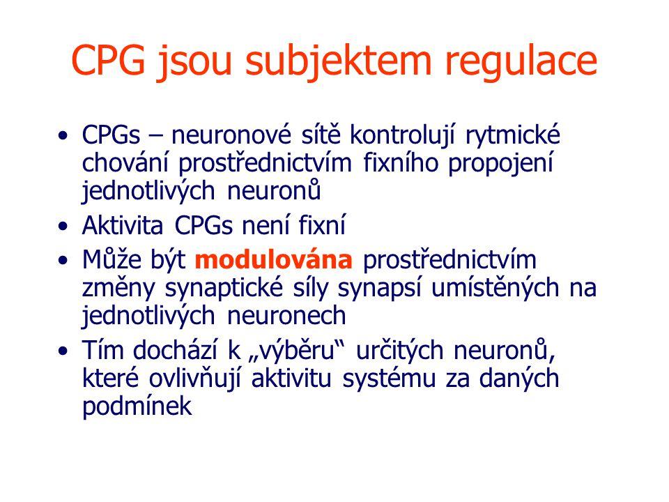 """CPG jsou subjektem regulace CPGs – neuronové sítě kontrolují rytmické chování prostřednictvím fixního propojení jednotlivých neuronů Aktivita CPGs není fixní Může být modulována prostřednictvím změny synaptické síly synapsí umístěných na jednotlivých neuronech Tím dochází k """"výběru určitých neuronů, které ovlivňují aktivitu systému za daných podmínek"""