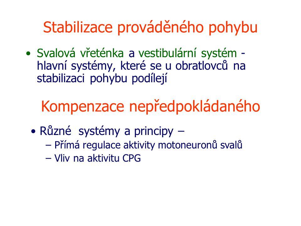 Stabilizace prováděného pohybu Svalová vřeténka a vestibulární systém - hlavní systémy, které se u obratlovců na stabilizaci pohybu podílejí Kompenzace nepředpokládaného Různé systémy a principy – – Přímá regulace aktivity motoneuronů svalů – Vliv na aktivitu CPG