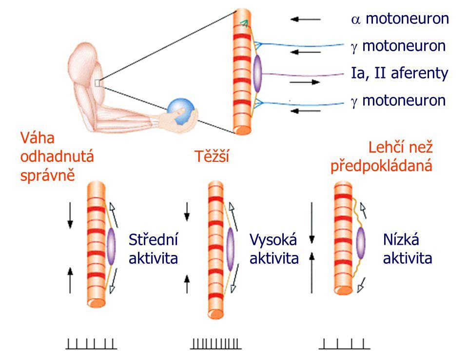  motoneuron  motoneuron Ia, II aferenty  motoneuron Váha odhadnutá správně Těžší Lehčí než předpokládaná Střední aktivita Vysoká aktivita Nízká aktivita