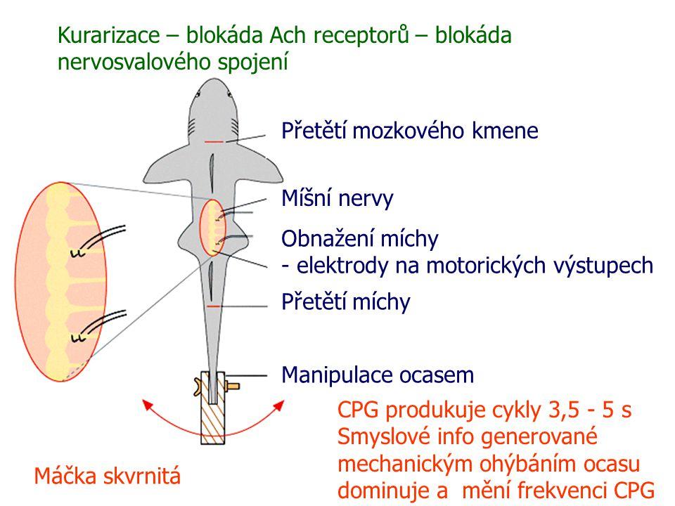 Manipulace ocasem Přetětí míchy Obnažení míchy - elektrody na motorických výstupech Míšní nervy Přetětí mozkového kmene Máčka skvrnitá Kurarizace – blokáda Ach receptorů – blokáda nervosvalového spojení CPG produkuje cykly 3,5 - 5 s Smyslové info generované mechanickým ohýbáním ocasu dominuje a mění frekvenci CPG