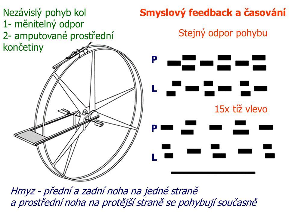 Smyslový feedback a časování Hmyz - přední a zadní noha na jedné straně a prostřední noha na protější straně se pohybují současně Nezávislý pohyb kol 1- měnitelný odpor 2- amputované prostřední končetiny Stejný odpor pohybu 15x tíž vlevo P L P L