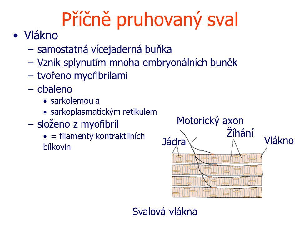 Příčně pruhovaný sval Vlákno –samostatná vícejaderná buňka –Vznik splynutím mnoha embryonálních buněk –tvořeno myofibrilami –obaleno sarkolemou a sarkoplasmatickým retikulem –složeno z myofibril = filamenty kontraktilních bílkovin Motorický axon Žíhání Vlákno Jádra Svalová vlákna