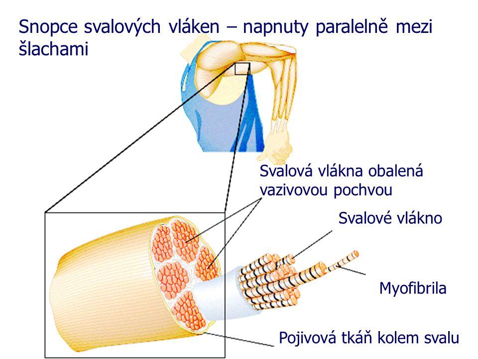 Svalová vlákna obalená vazivovou pochvou Svalové vlákno Pojivová tkáň kolem svalu Snopce svalových vláken – napnuty paralelně mezi šlachami Myofibrila