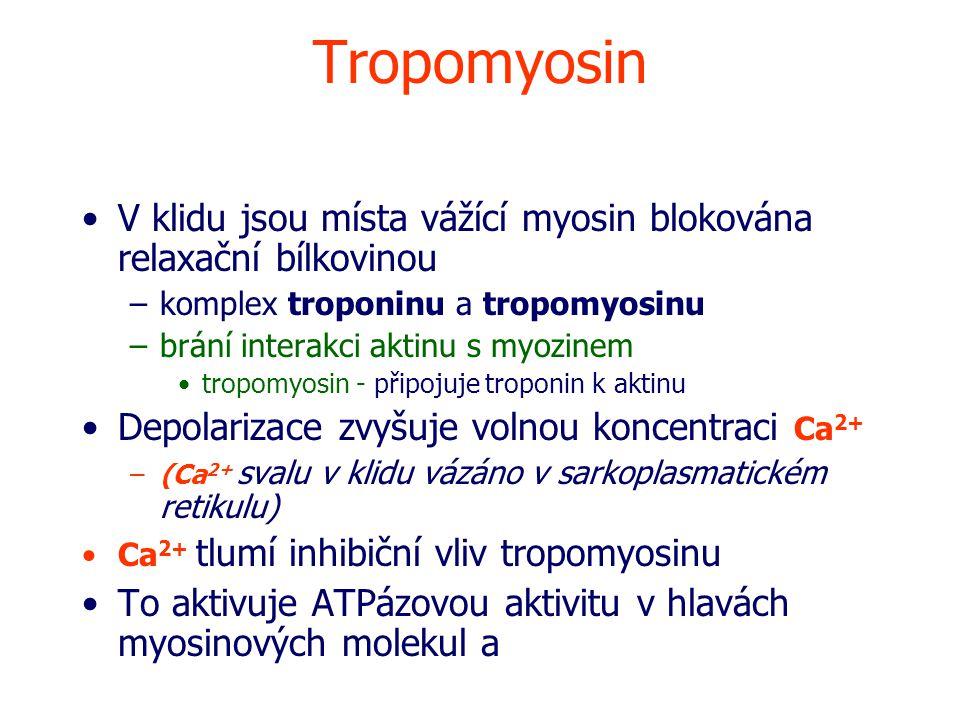 Tropomyosin V klidu jsou místa vážící myosin blokována relaxační bílkovinou –komplex troponinu a tropomyosinu –brání interakci aktinu s myozinem tropomyosin - připojuje troponin k aktinu Depolarizace zvyšuje volnou koncentraci Ca 2+ –(Ca 2+ svalu v klidu vázáno v sarkoplasmatickém retikulu) Ca 2+ tlumí inhibiční vliv tropomyosinu To aktivuje ATPázovou aktivitu v hlavách myosinových molekul a