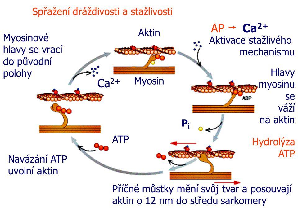 AP Ca 2+ Hlavy myosinu se váží na aktin PiPi Myosin Aktin Příčné můstky mění svůj tvar a posouvají aktin o 12 nm do středu sarkomery ATP Navázání ATP uvolní aktin Myosinové hlavy se vrací do původní polohy Ca 2+ Spřažení dráždivosti a stažlivosti Aktivace stažlivého mechanismu Hydrolýza ATP
