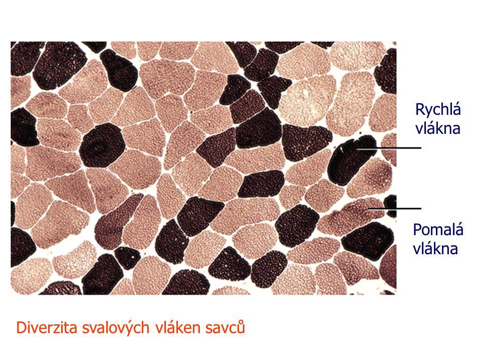 Rychlá vlákna Pomalá vlákna Diverzita svalových vláken savců
