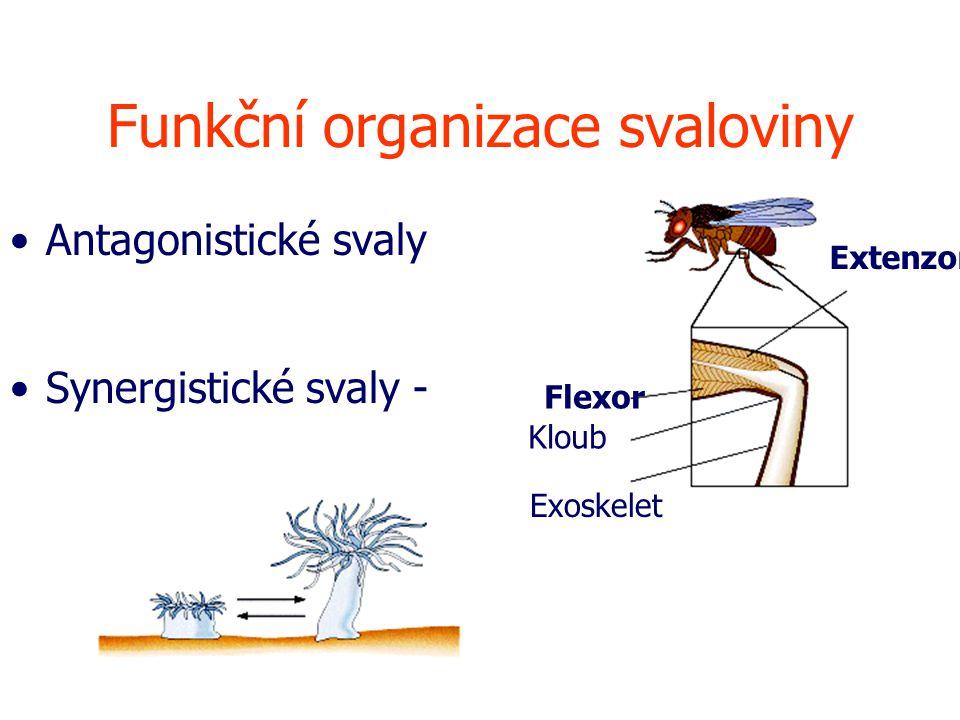 Funkční organizace svaloviny Antagonistické svaly Synergistické svaly - Flexor Extenzor Exoskelet Kloub