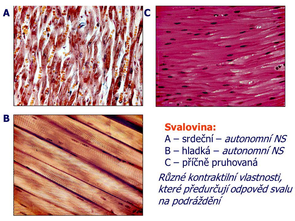 A B C Svalovina: A – srdeční – autonomní NS B – hladká – autonomní NS C – příčně pruhovaná Různé kontraktilní vlastnosti, které předurčují odpověd svalu na podráždění